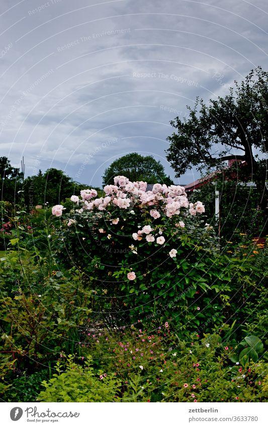 Rose bush in the evening flowers blossom bleed Relaxation holidays Garden Grass Sky cherries Garden allotments Deserted Nature Plant tranquillity Garden plot