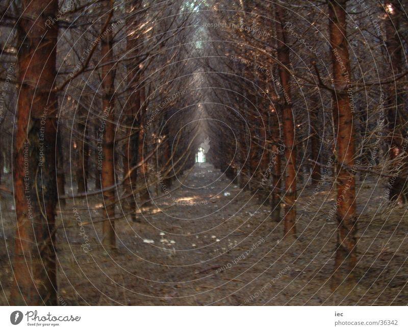 Dark Forest Coniferous trees Spruce dark man alee
