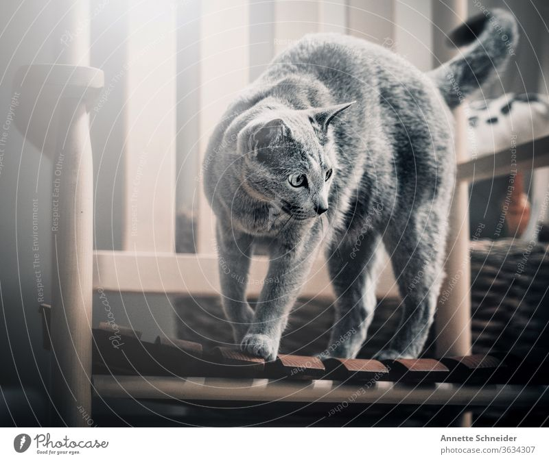 Cat on rocking chair pets Pelt purebred cat Gray already One animal Interior shot Animal portrait Joie de vivre (Vitality) Brave