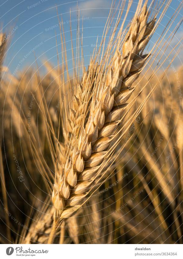 Wheat close-up Wheatfield Wheat ear Wheat grain Wheat beer Wheat flour wheat bread Field Exterior shot Colour photo Summer Plant Agricultural crop Day