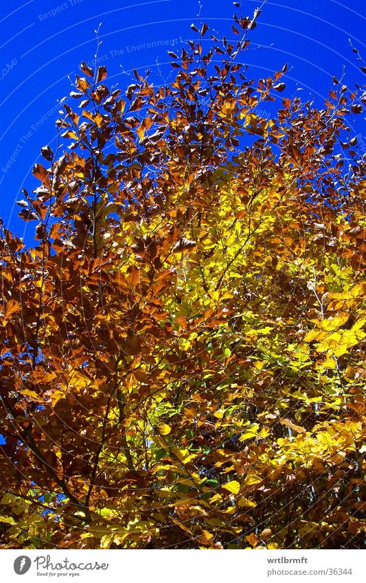 Sky Tree Blue Leaf Yellow Autumn Gold October