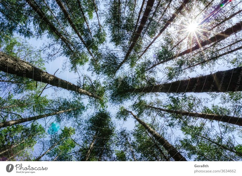 bottom view of tall pine trees in the forest against the sky and clouds air around background blue branch bright coniferous ecology environment foliage
