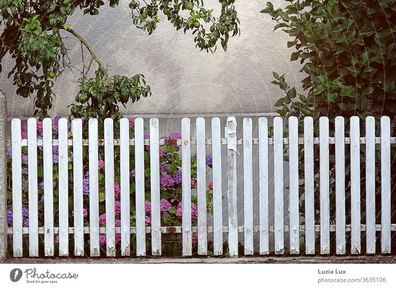 Hydrangeas behind an old, patchy, white fence, above it sunshine and some unripe pears hydrangeas Fence Old White Broken idyllically Pear tree Exterior shot