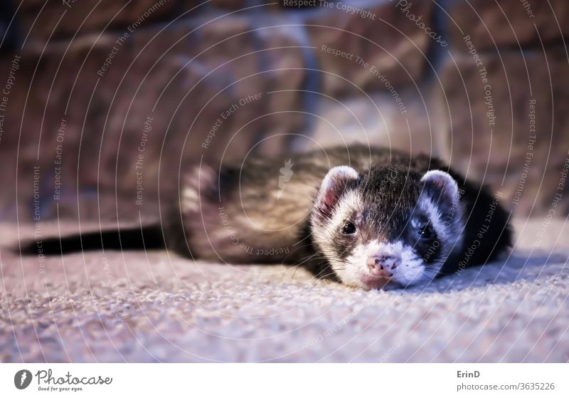 Adorable Face First Close Up View Ferret on Carpet ferret domestic animal weasel pole cat eyes shiny adorable close small expression face look gaze alert fun