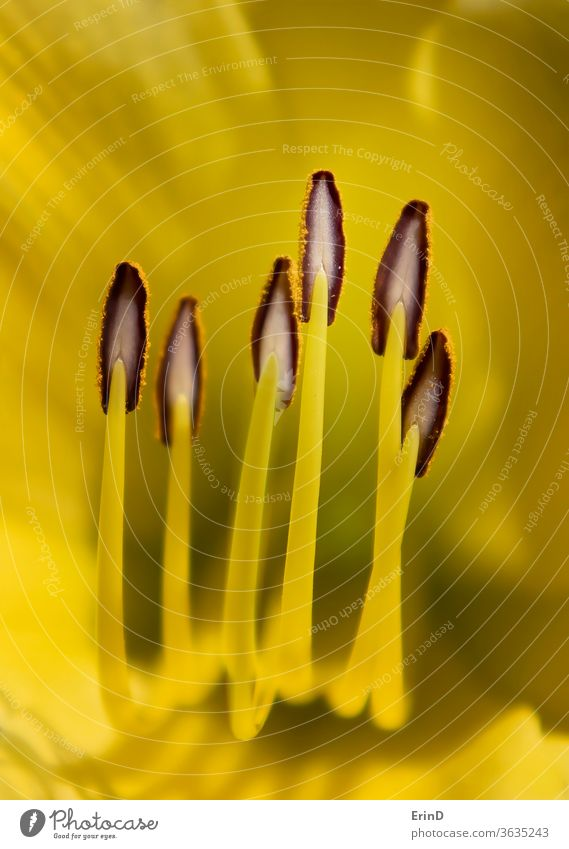 Bright Yellow Detail Day Lily Flower with Lines Curving Up macro close up abstract conceptual yellow white colorful life flower daylily detail bright yard flora