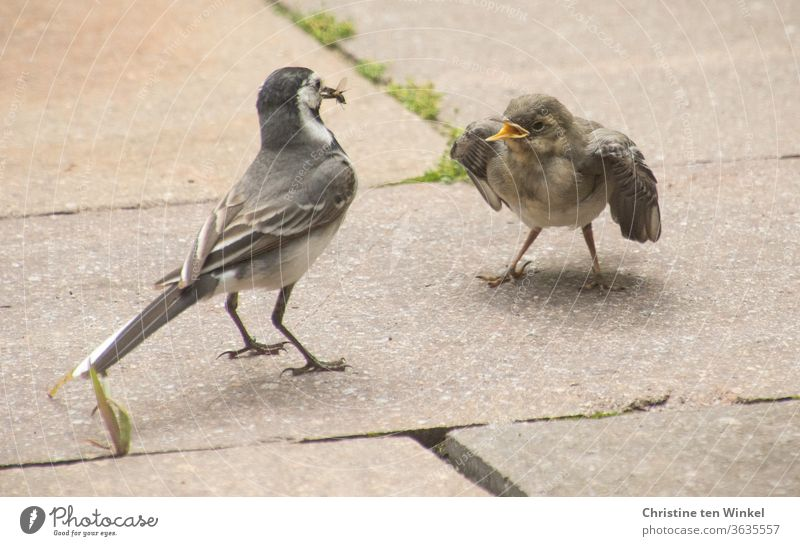 Breakfast at last! Begging young wagtail and old bird with an insect in its beak Wagtail Wippsteert fledglings young animal Small hungry Motacilla alba songbird