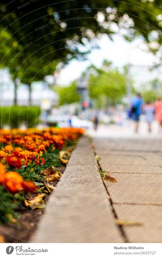 Flowers line a sidewalk in Chemnitz flowers Orange off leading path Town Downtown City centre & city centre people little depth of field Shallow depth of field