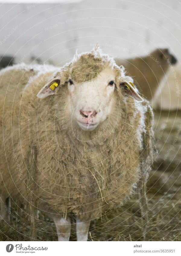 Moo! Sheep Barn portrait Animal Species-appropriate Keeping of animals animal portrait Nature Agriculture Organic farming Farm Organic produce Deserted