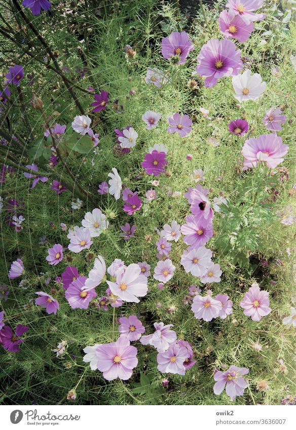 A kind of purple Cosmea flowers bleed Blossoming Summer Exterior shot Deserted Bright Colours luminescent Close-up Sunlight Environment Detail Plant Nature
