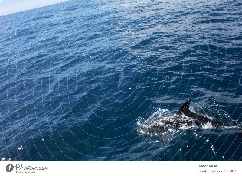 Dolphin - pure joie de vivre! Ocean Waves dorsal fin Water ship tour Observe
