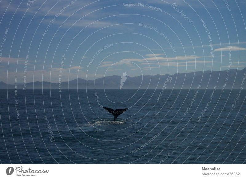 Ocean Dive Whale Tail fluke Sperm whale
