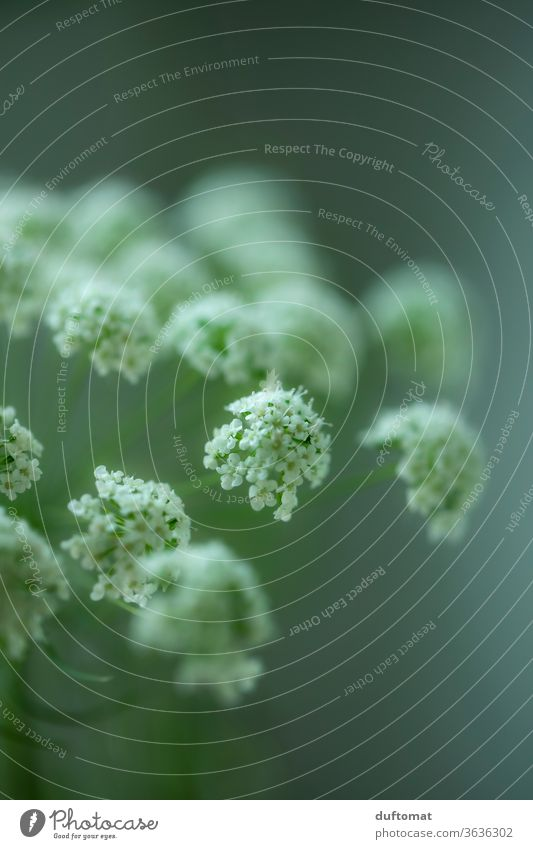 White meadow flower against a green background flowers Hemlock Umbellifer white carrot Meadow bleed Meadow flower still life aesthetics Purity Clarity blossom