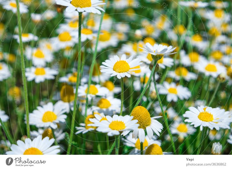 White flowers daisy on green field white chamomile nature meadow spring blossom many summer plant beautiful grass natural background yellow season sunny growth