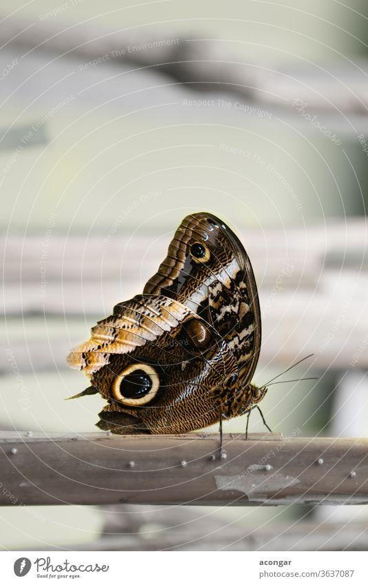 Giant-owl, Gold-edged Owl-Butterfly, Golden Caligo (Caligo uranus) Macro america animal arthropod background beautiful biology brown brush bug butterfly caligo