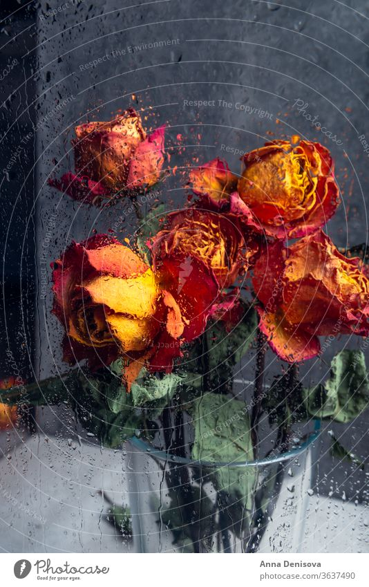 Bunch of beautiful faded flowers through the glass with rain drops rose dry petal stem leaf heart orange blue window water broken day valentine love death plant