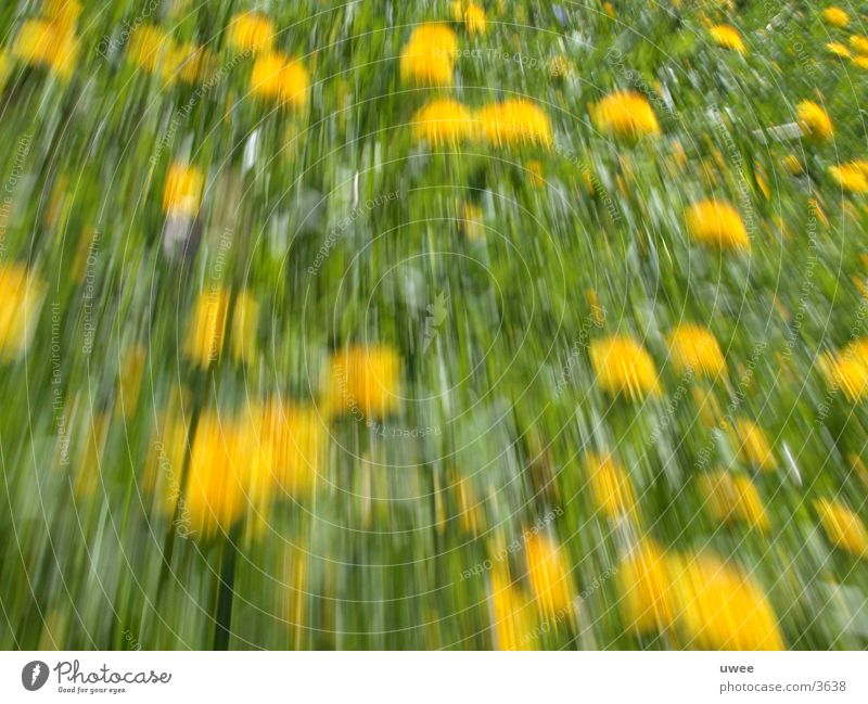 dandelion Dandelion Meadow Yellow Acceleration Flower Blossom Spring Plant Green Movement moving move