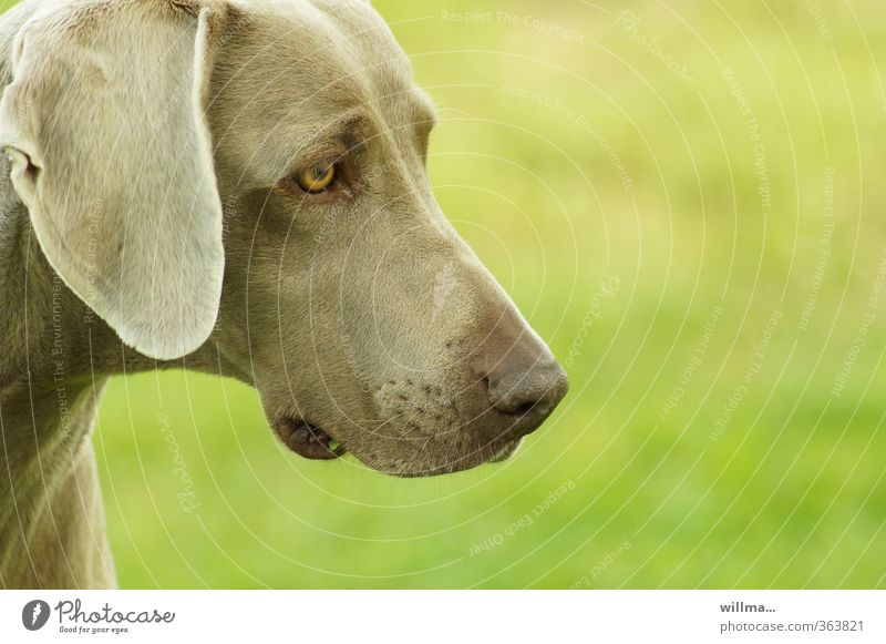 tia. Animal Pet Dog Weimaraner 1 Brown Green Love of animals Loyalty Head Colour photo Exterior shot Deserted Copy Space right Animal portrait Profile