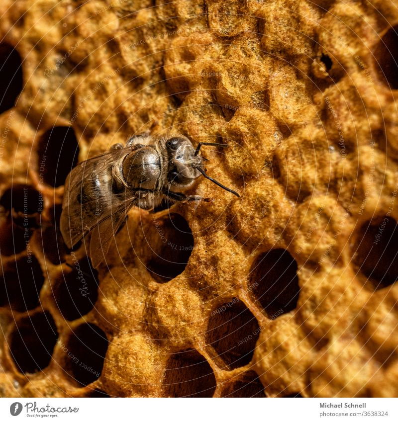 A newly hatched bee Bee Insect Macro (Extreme close-up) Yellow Honeycomb Honey bee Bee-keeping Nature beekeeping honeycomb youthful Tousled young animal