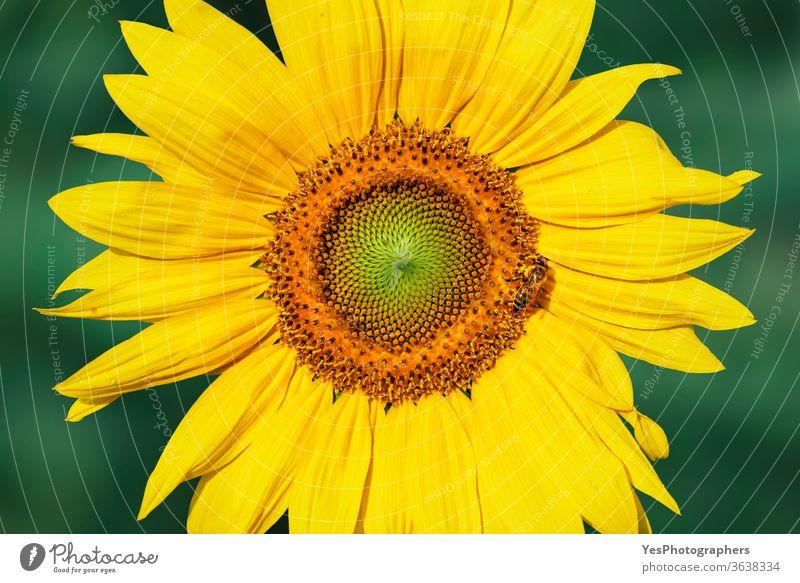 Sunflower head in morning light. Yellow flower close-up agricultural agriculture bee bloom botany bright cheerful colorful environment farming flowers gardening