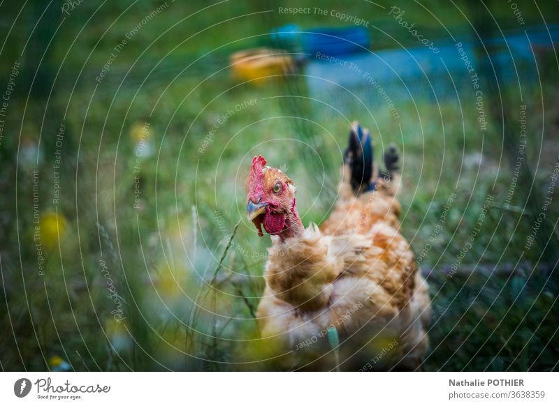 Hen in the grass behind a fence hen Fence Grass Exterior shot Nature Meadow Colour photo Green Summer chicken Animal Poultry Farm animal Animal portrait