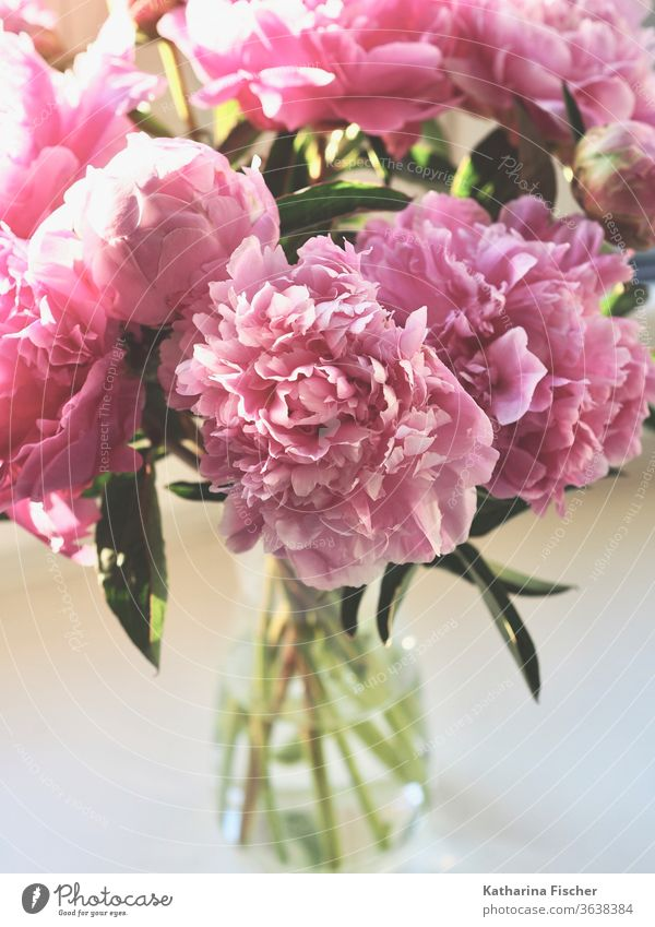 peonies flower Nature Pink Plant Colour photo Summer Blossom Beautiful Day Fresh Garden Natural Blossom leave Close-up bouquet of flowers Floral Bouquet Green