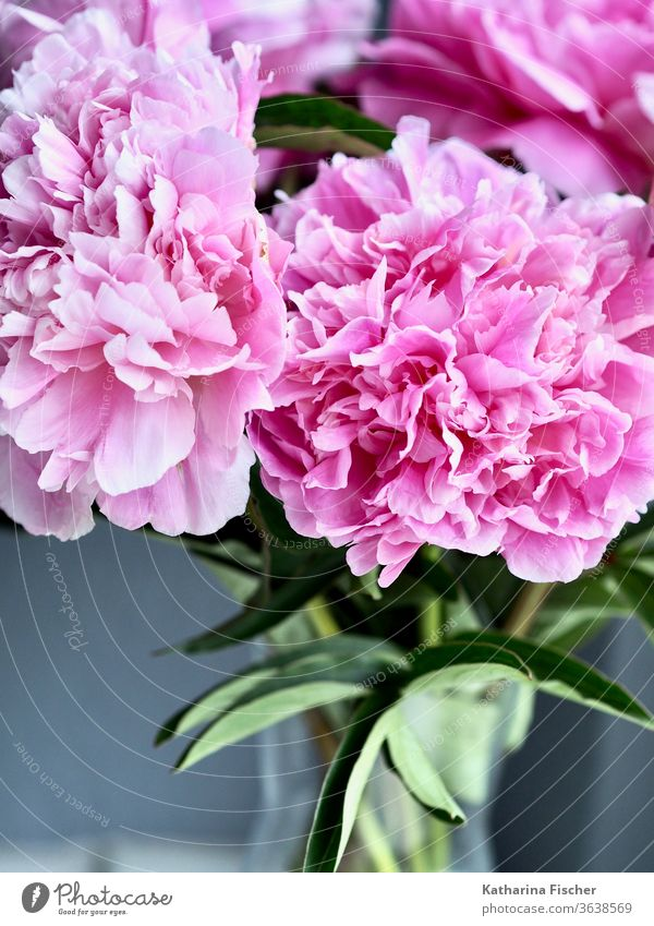 peonies Pink Flower Blossom Close-up Nature Colour photo Detail Summer Spring Blossoming Fragrance Blossom leave Day Beautiful Interior shot Esthetic Natural