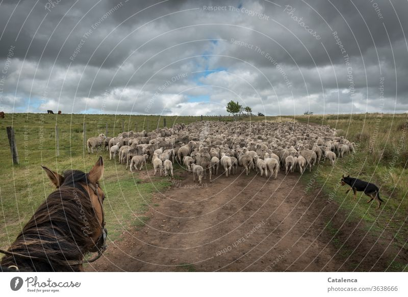 Rider and dog drive a flock of sheep Exterior shot Mane Horse Farm animal Animal off plants Nature green Brown Grass Farm animal dog Sheep Flock Horizon Sky