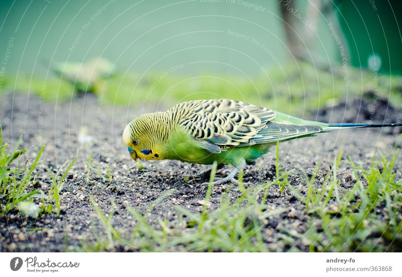 budgie Nature Animal Earth Summer Bird 1 To feed Feeding Beautiful Yellow Green Budgerigar Parrots Accumulate Search Birdseed Zoo Exotic Cute Grass Foraging