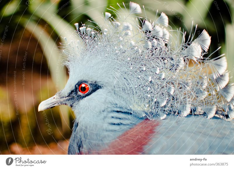 Crowned Pigeon Animal Bird Animal face 1 Exotic Fantastic Uniqueness Feather Beak Chic Exceptional Animal portrait Eyes Looking Blue Red Colour photo