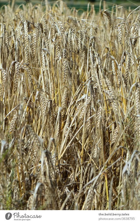 Grain field/grain field shortly before harvest Cornfield Field Ear of corn Wheat Agriculture Nature Summer Agricultural crop Plant Exterior shot Growth