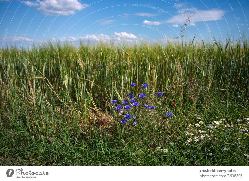Cornfield/corn field with cornflowers and daisies with blue sky with clouds Grain field Margarites Blue sky Field Agriculture Summer Nature Agricultural crop