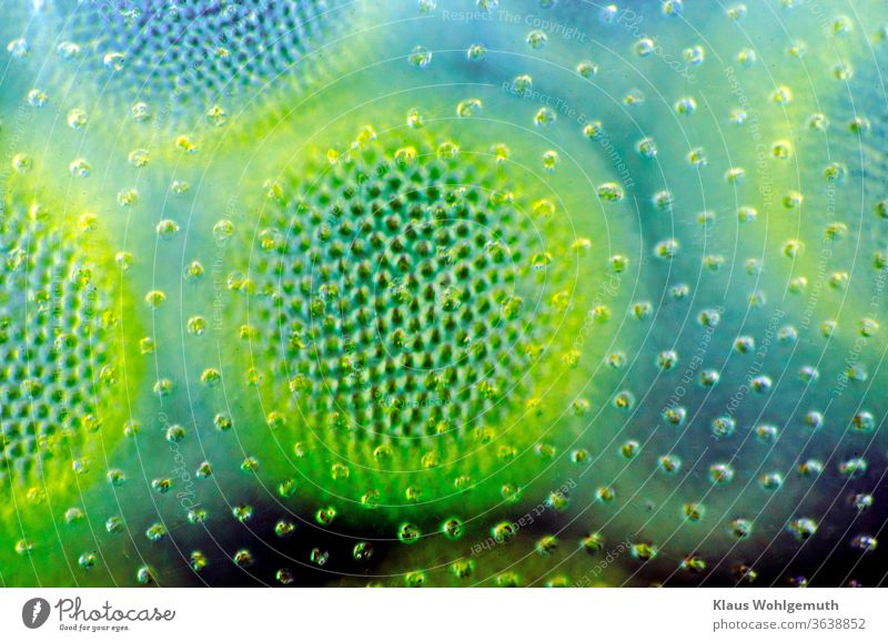 magnified 250 times, Volvox transmitted Colour photo macro micro Microscope alga Chlorophyll cell Blue green