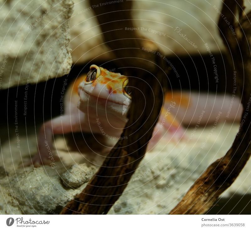 The small leopard gecko looks curiously through his terrarium and waits for feeding Leopard gecko Gecko Animal Reptiles Colour photo Animal portrait Exotic