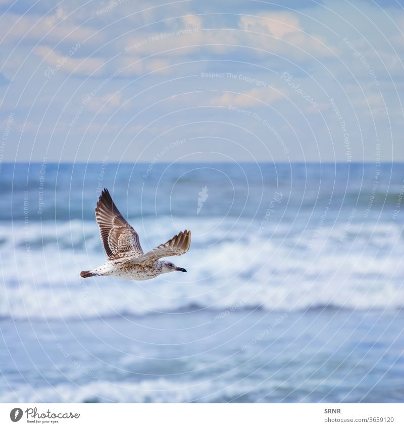 flying Young Seagull animal avian avifauna bird birdling common gull feathered feathery fledgling hover mew mew-gull outdoor perched plumage pullus sea gull