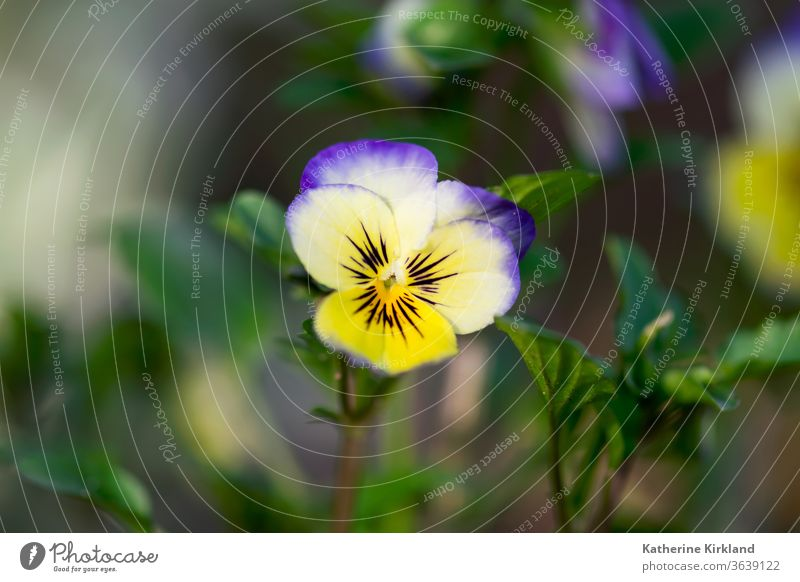 Purple and Yellow Viola Closeup viola pansy pansies Flower purple white yellow Green Nature Bloom Blooming Blossom bunch Plant Flora Floral leaf leaves Garden