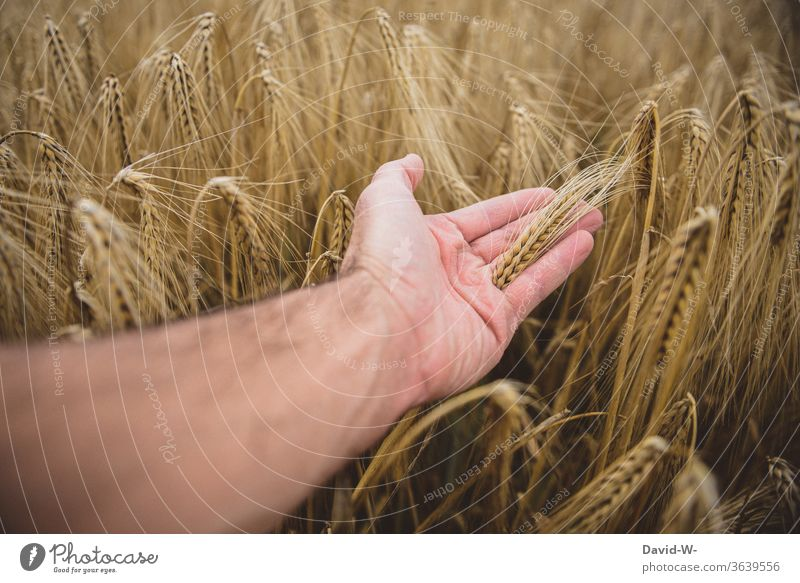 Hand driving through a cornfield by hand Grain Field Grain field Harvest harvest season Growth peasants Agriculture country agriculturally Farmer Summer Nature