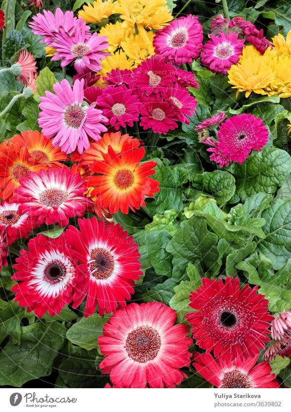 Colorful flowers of Gerbera jamesonii hybrids with green leaves in a Country Cottage Garden. Background for wedding greeting card banner, mother's day card, women's day, birthday. Close up, top view.