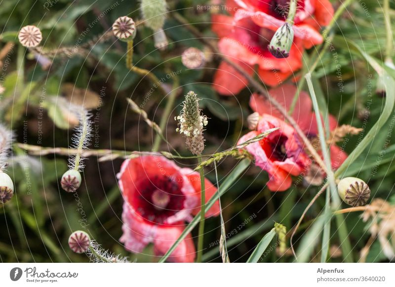 ribwort plantain at last Plantain Poppy Poppy blossom Poppy capsule Red flowers Exterior shot green Nature Summer Poppy field bleed Deserted Environment Meadow