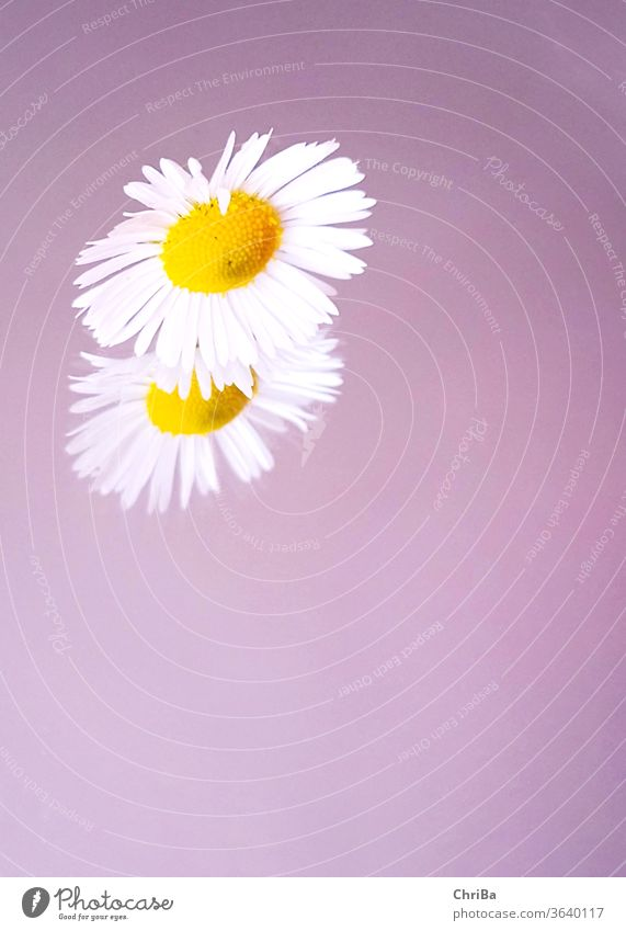 Daisies with mirror image on soft purple background Daisy mauve pastel Mirror image reflection Delicate somerwise Nature flowers bleed Plant Close-up