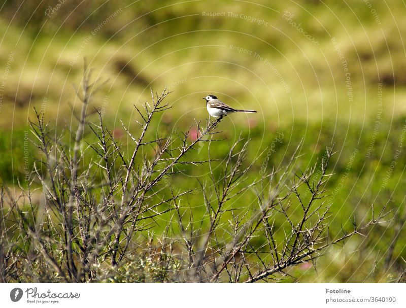 Just rest for a minute! - or a small wagtail rests on a bush. Wagtail birds Nature Animal Exterior shot Colour photo 1 Day Wild animal Animal portrait