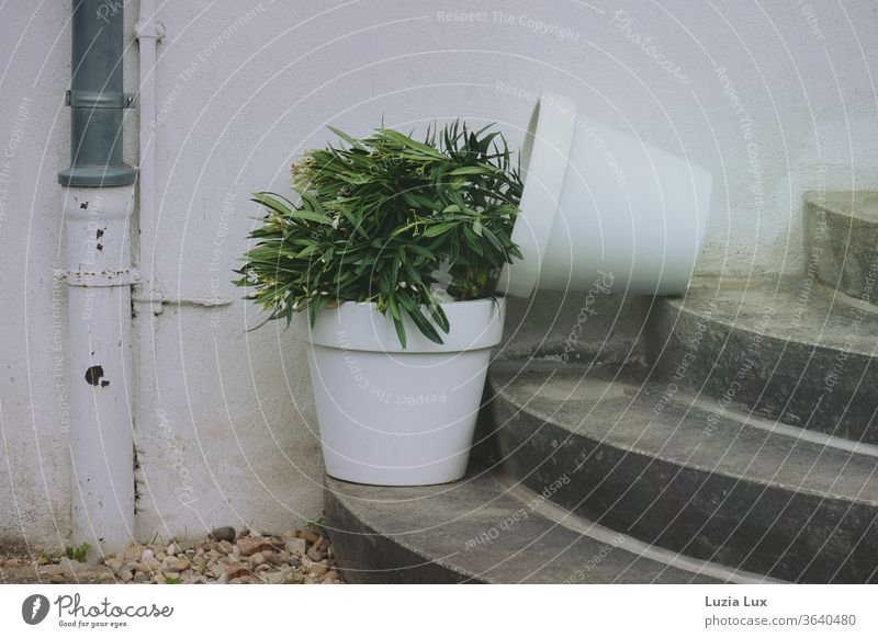 Two small oleander trees in white pots on a round staircase - one of them has fallen over and is lying half on top of the other Oleander White Stairs Round