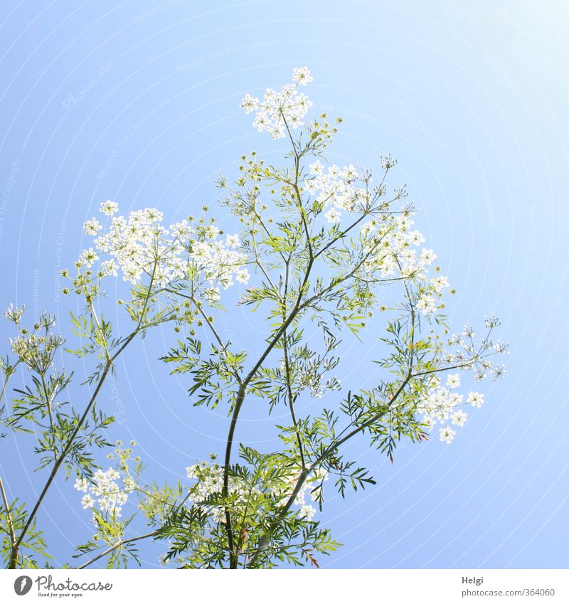 Plant summery... Environment Nature Cloudless sky Summer Beautiful weather Flower Leaf Blossom Wild plant Meadow Blossoming Stand Growth Esthetic Tall Natural