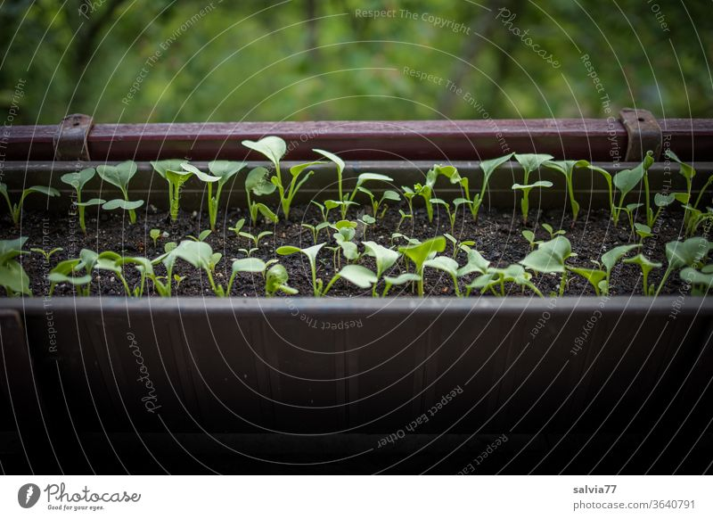 Vegetable cultivation on the balcony Radish Window box balcony box Growth Fresh Vegetarian diet Food natural Delicious Nutrition Organic produce Deserted