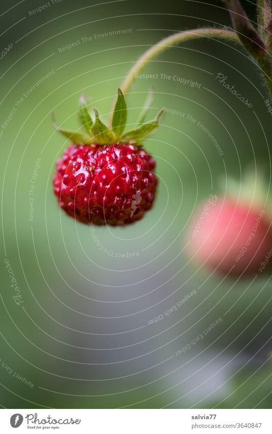 sweet fruit on stem, ripe wild strawberry Sweet Red Delicious Strawberry Wild strawberry Mature Plant Fresh Nature natural Macro (Extreme close-up)