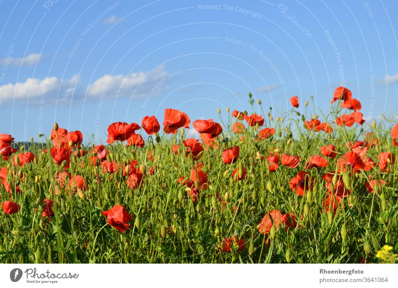red poppies in a rape field Poppy Canola Field Corn poppy Red acre extension Sky Nature Landscape background Rhön Thuringia Weather bleed blossom green Blue