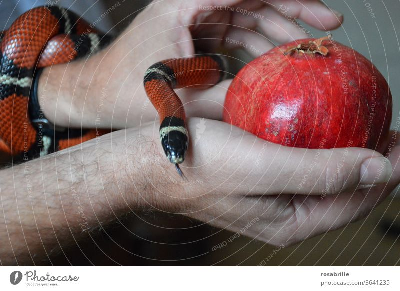 Fall of Man - snake with interesting | color combination Snake case of sin Sin Temptation Fruit Pomegranate Apple hands stop Offer Red Dangerous peril creep