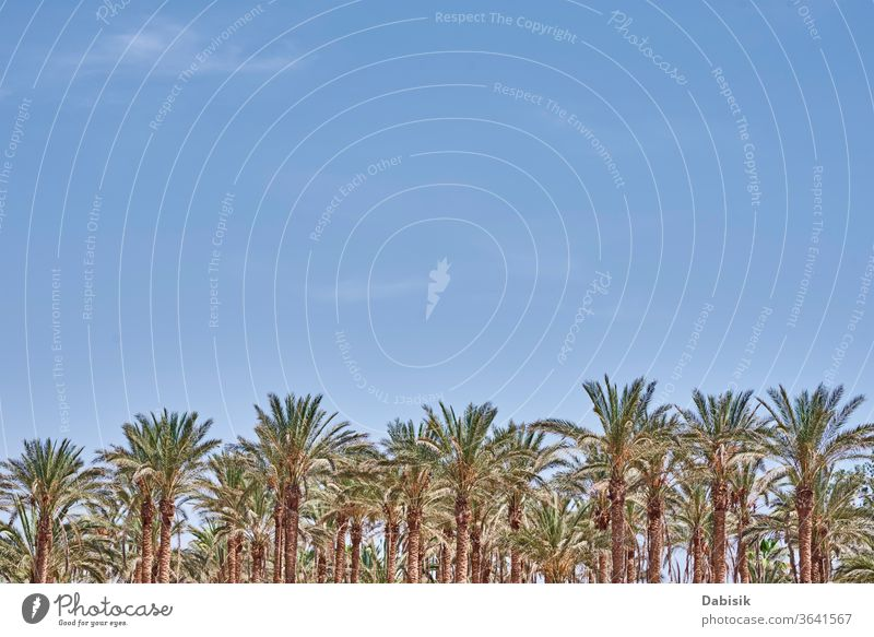 Palm trees on beach sea. Tourist season palm umbrella summer vacation travel sand tropical blue sky relaxation nature water paradise resort holiday outdoor