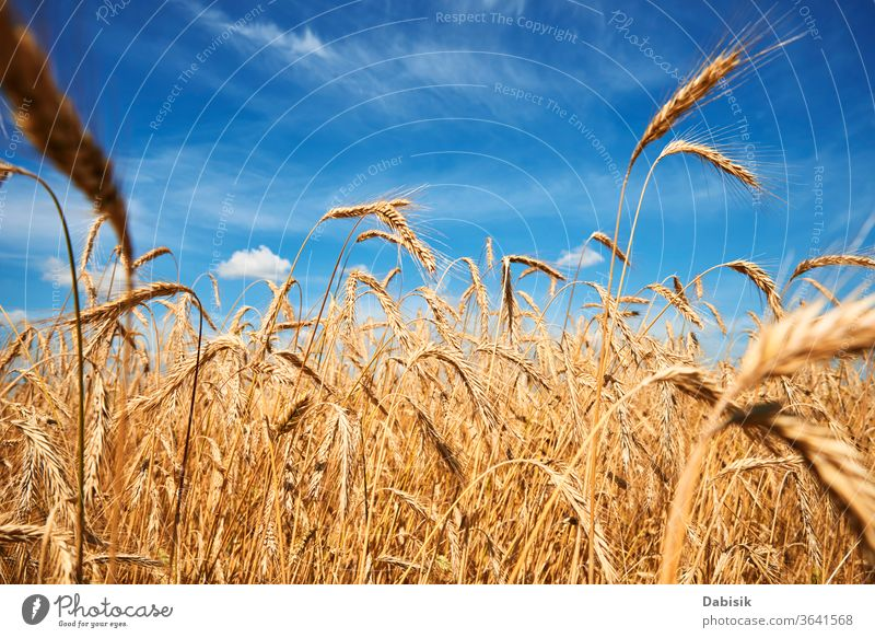 Rye ears are closing. Rye field on a summer day. Harvest concept Field grain Ear Wheat golden Farm Yellow Summer Gold Cereal Mature Agriculture Barley Landscape