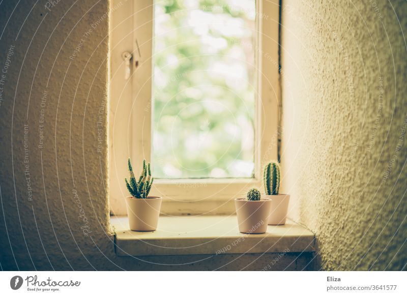 3 small cacti on the windowsill of an old building flat Window board Period apartment Retro Small Old building plants Gloomy Cloister window Wall (building)
