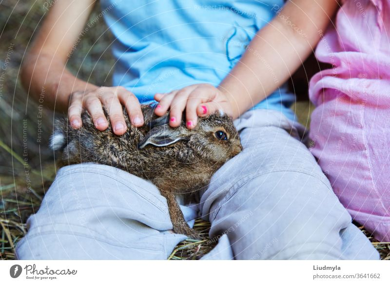 Children's hands  holding and stroking a baby wild hare, or leveret, against a hay background medicine cat health veterinarian female veterinary girl care